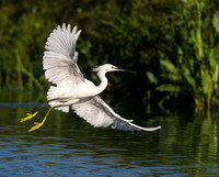 3.Snowy egret with yellow slippers flying across pond