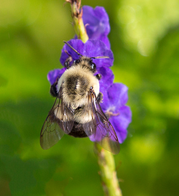 Bumble_Bee_on_Porterweed