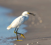 9.Snowy_Egret_walking_with_minnow on Manasota Key