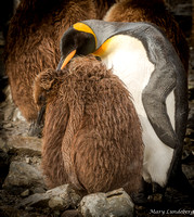 King Penguin Grooming Chick