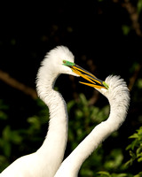 5.Great egrets in breeding plumage kiss