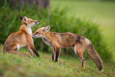 Red Fox Grooming Kit