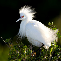 2.Snowy_egret in breeding plumage,_Amberjack_Environmental_Preserve,_Englewood