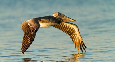 Juvenile Gliding
