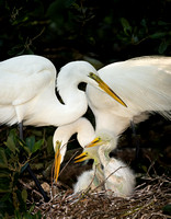 Great Egret Family
