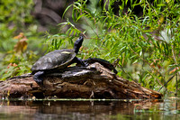 Turtles on River Log