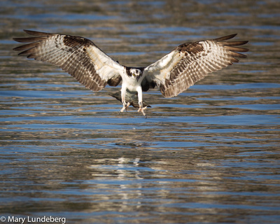 Mary lundeberg owls and osprey osprey catching fish for Osprey catching fish