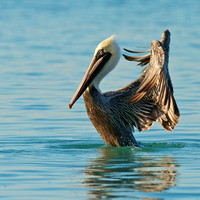 Brown Pelican shake