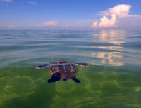A_tiny_loggerhead_hatchling_swims_out_to_sea,_